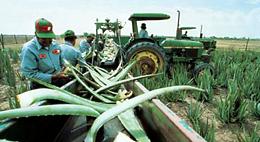 Aloe Vera Harvest